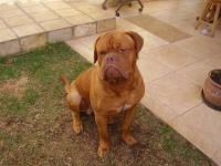 Dogue de Bourdeaux Tyson